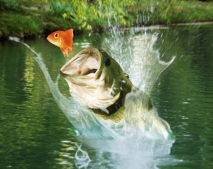 bass leaping from water