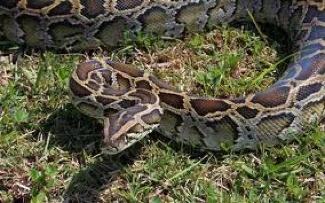 Florida Python Hunt Ends with a Release