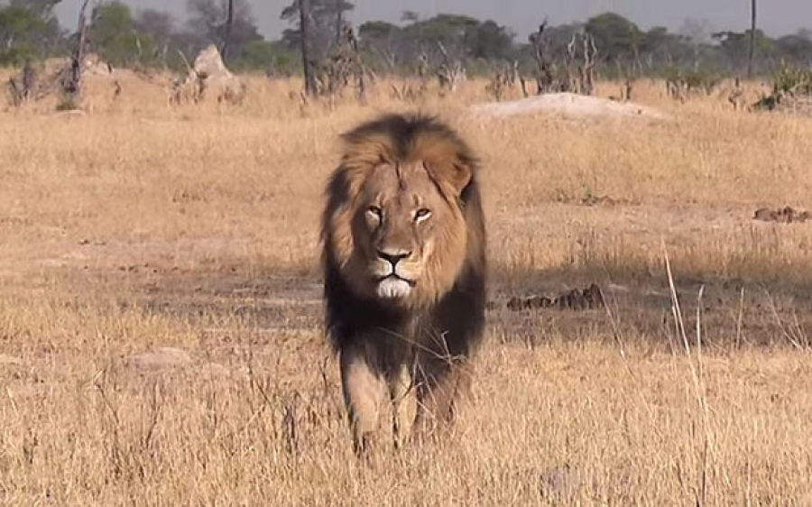 Cecil the African Lion