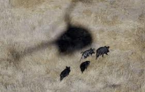 Wild Boar Laws in Oklahoma Prove Yesterdays Point